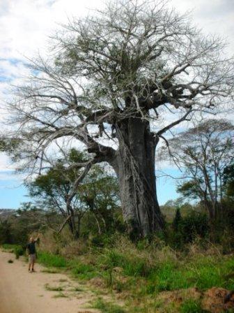 mozambiqueishometosomebigbaobabtrees.jpg